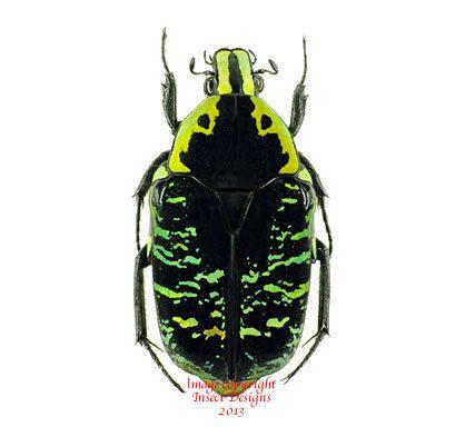 Euchroea Insect Designs Beetles Cetonidae Euchroea coelestis
