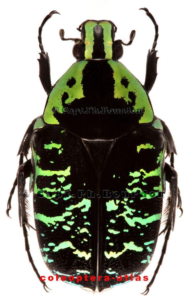 Euchroea Euchroea coelestis ColeopteraAtlascom