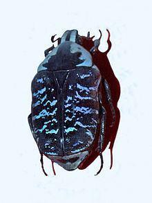 Euchroea coelestis httpsuploadwikimediaorgwikipediacommonsthu