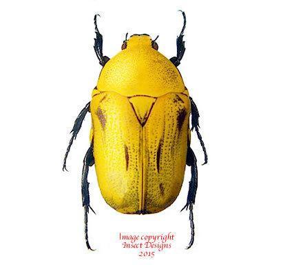 Euchroea Insect Designs Beetles Cetonidae Euchroea oberthuri