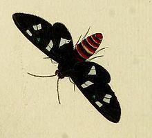 Euchromia creusa httpsuploadwikimediaorgwikipediacommonsthu