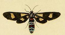 Euchromia guineensis httpsuploadwikimediaorgwikipediacommonsthu