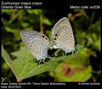 Euchrysops cnejus Euchrysops cnejus Gram Blue Butterflies of India