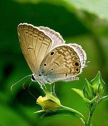 Euchrysops cnejus httpsuploadwikimediaorgwikipediacommonsthu