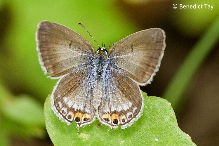 Euchrysops cnejus ButterflyCircle Checklist