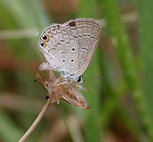 Euchrysops httpsuploadwikimediaorgwikipediacommonsthu