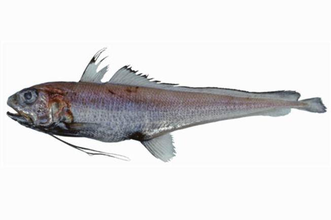 Eucla cod fishesofaustralianetauImagesImageEuclichPolyn
