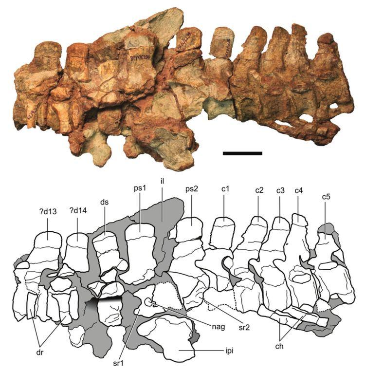 Eucnemesaurus Axial column and pelvic elements of Eucnemesaurus entaxonis