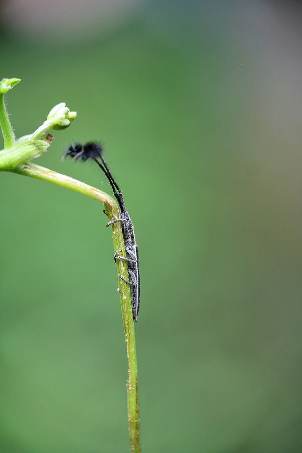 Eucomatocera vittata