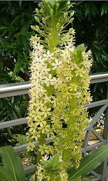Eucomis pallidiflora httpsuploadwikimediaorgwikipediacommonsthu