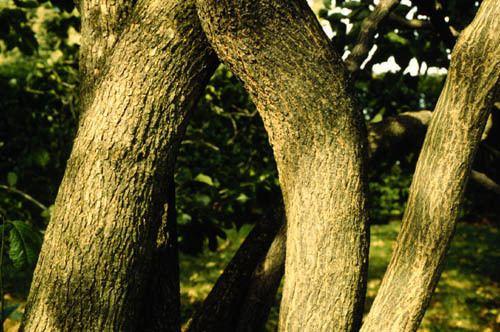 Eucommia ulmoides Eucommia ulmoides Hardy Rubber Tree Plant Database University