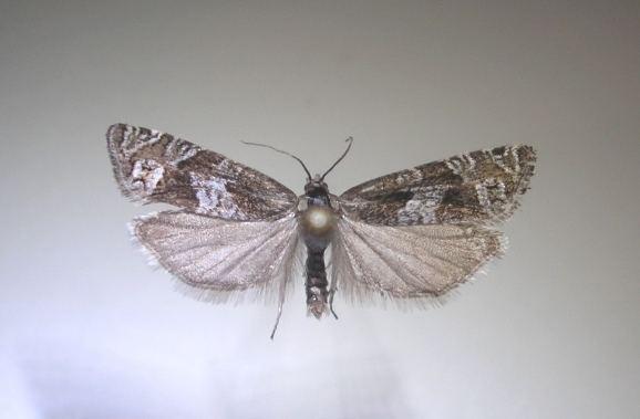 Eucosma saussureana