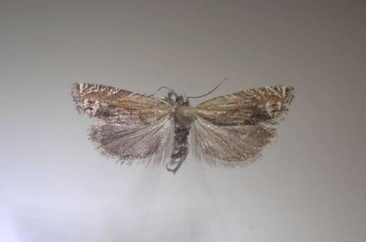 Eucosma suomiana