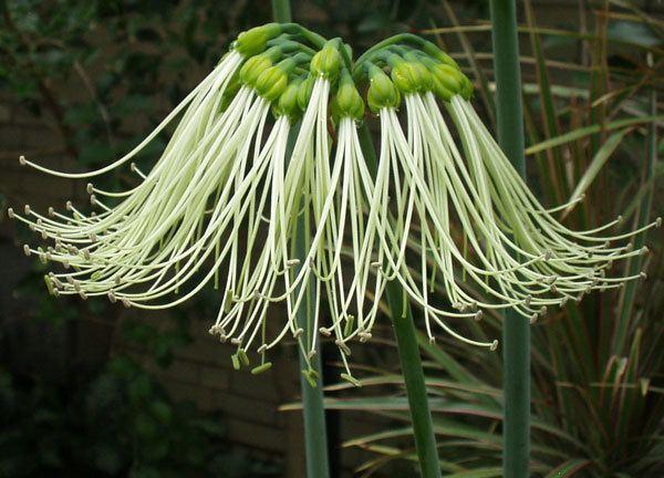 Eucrosia Pacific Bulb Society Eucrosia