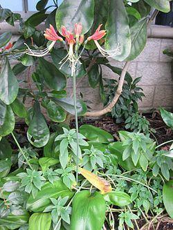 Eucrosia bicolor httpsuploadwikimediaorgwikipediacommonsthu