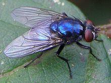 Eudasyphora httpsuploadwikimediaorgwikipediacommonsthu