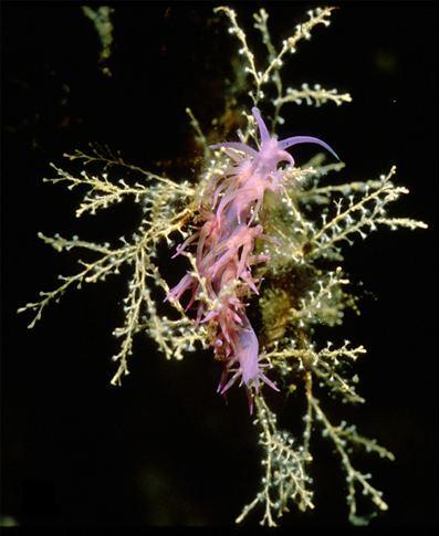Eudendrium racemosum