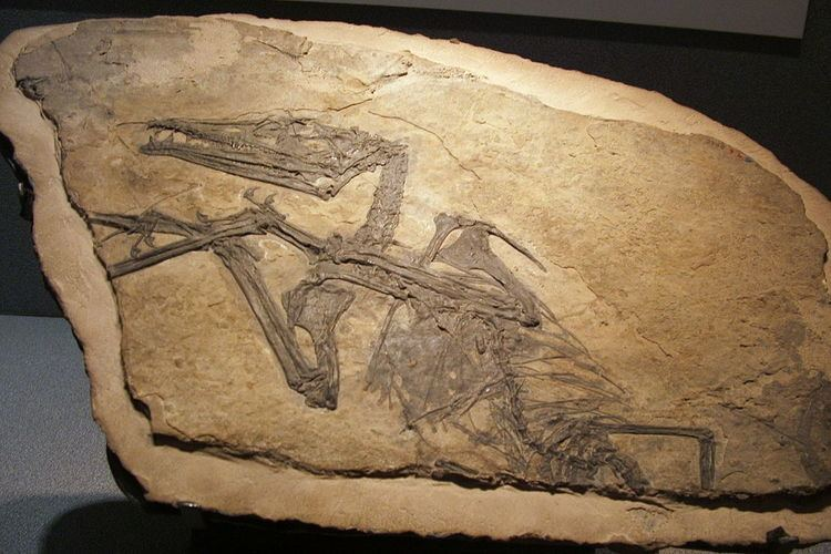 Eudimorphodontidae