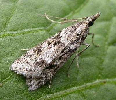 Eudonia angustea The Moths of Suffolk 1342 Eudonia angustea Curtis 1827