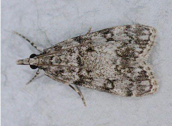 Eudonia lacustrata Lepidoptera of Belgium Eudonia lacustrata