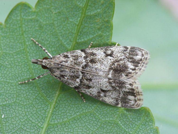 Eudonia lacustrata Eudonia lacustrata Dipleurina lacustrata Little Grey Norfolk