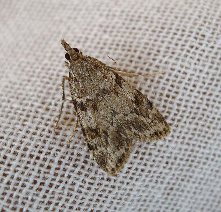 Eudonia lineola