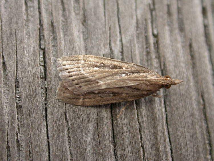 Eudonia octophora