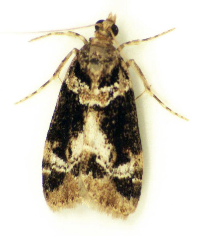 Eudonia zophochlaena