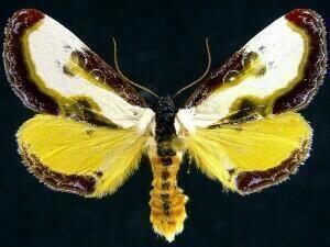 Eudryas grata Moth Photographers Group Eudryas grata 9301