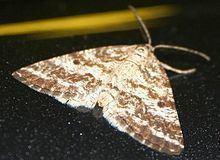 Eufidonia httpsuploadwikimediaorgwikipediacommonsthu