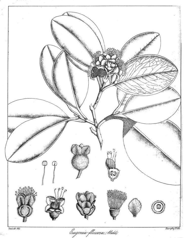 Eugenia floccosa