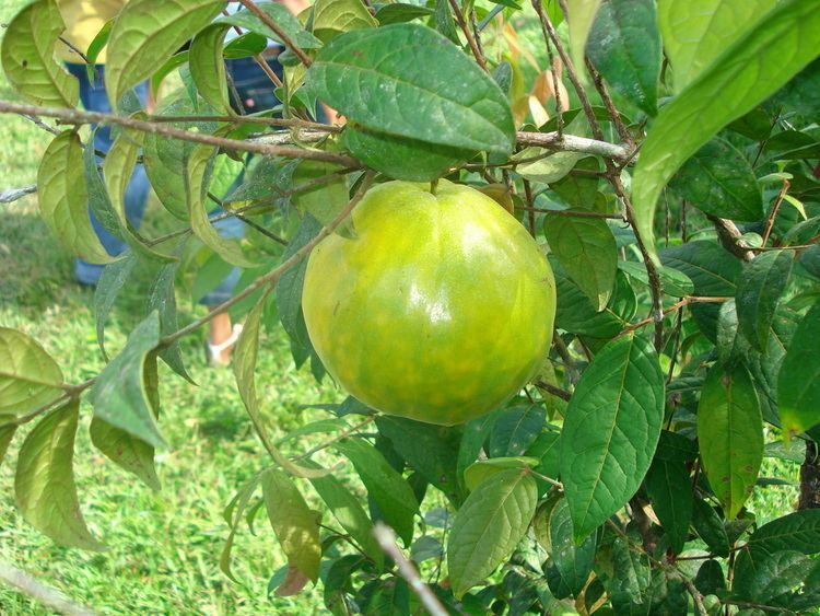 Eugenia stipitata Eugenia stipitata Useful Tropical Plants