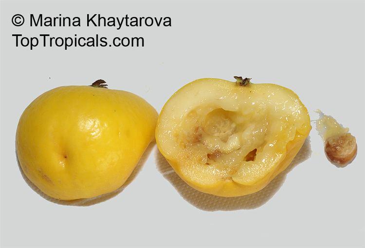Eugenia stipitata httpstoptropicalscompicsgardenm1Podarki9E