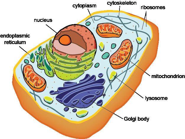 Eukaryote Biology Structures in All Eukaryotic Cells Shmoop Biology