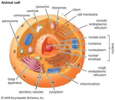 Eukaryote eukaryote biology Britannicacom