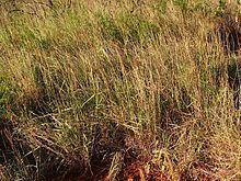 Eulalia (plant) httpsuploadwikimediaorgwikipediacommonsthu