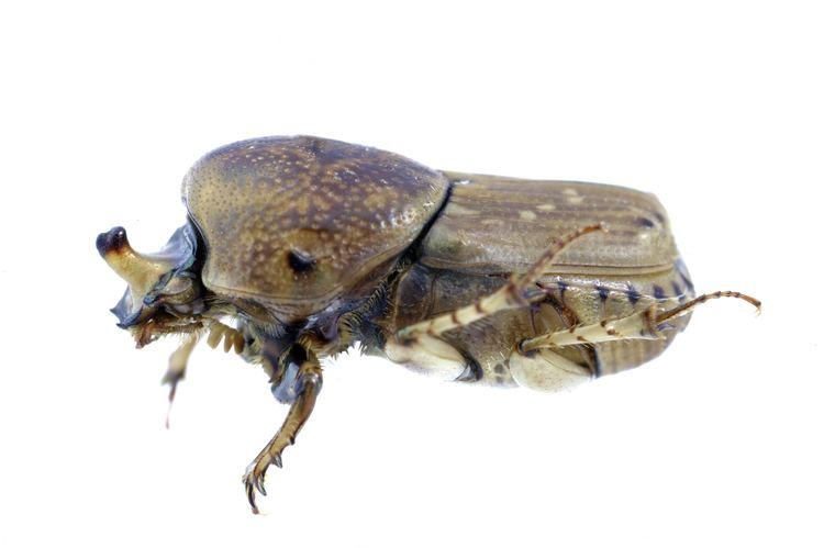 Euoniticellus FileCSIRO ScienceImage 270 Euoniticellus intermedius Dung Beetle