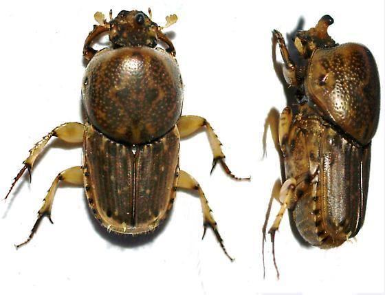 Euoniticellus Euoniticellus intermedius BugGuideNet