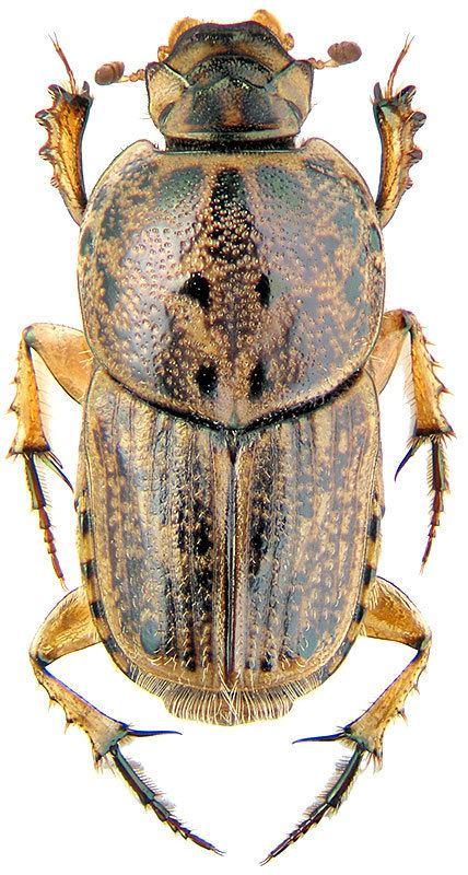 Euoniticellus Euoniticellus pallipes F Scarabaeidae