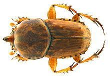 Euoniticellus httpsuploadwikimediaorgwikipediacommonsthu