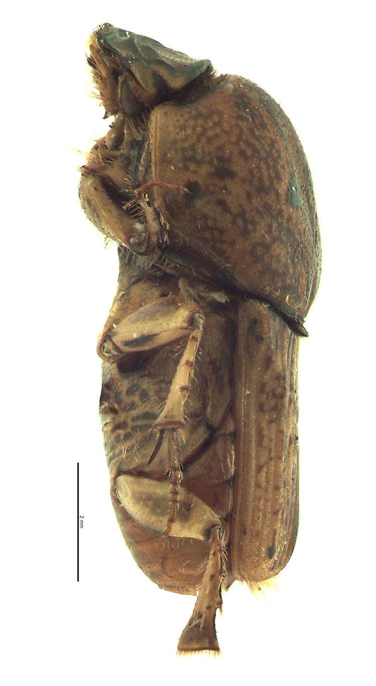Euoniticellus Euoniticellus africanus Hawaiian Scarab ID