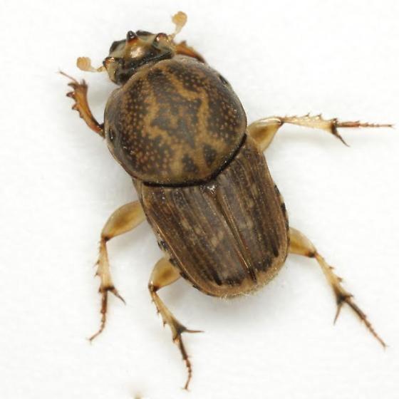 Euoniticellus Euoniticellus intermedius Reiche Euoniticellus intermedius