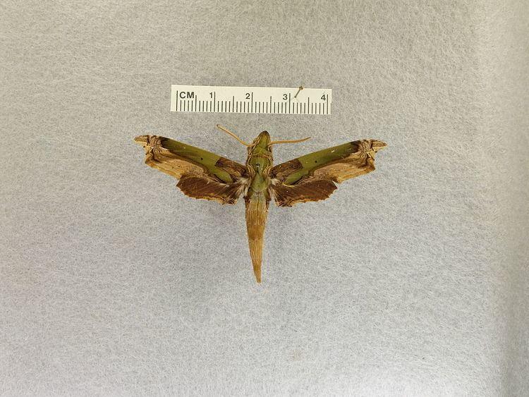 Eupanacra busiris