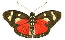 Euphaedra perseis httpsuploadwikimediaorgwikipediacommonsthu