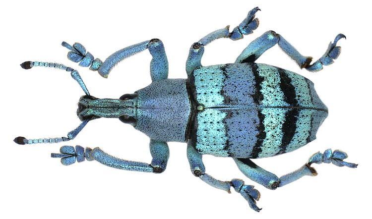 Eupholus FileEupholus amalulu Porion 1993 2961189865jpg Wikimedia Commons