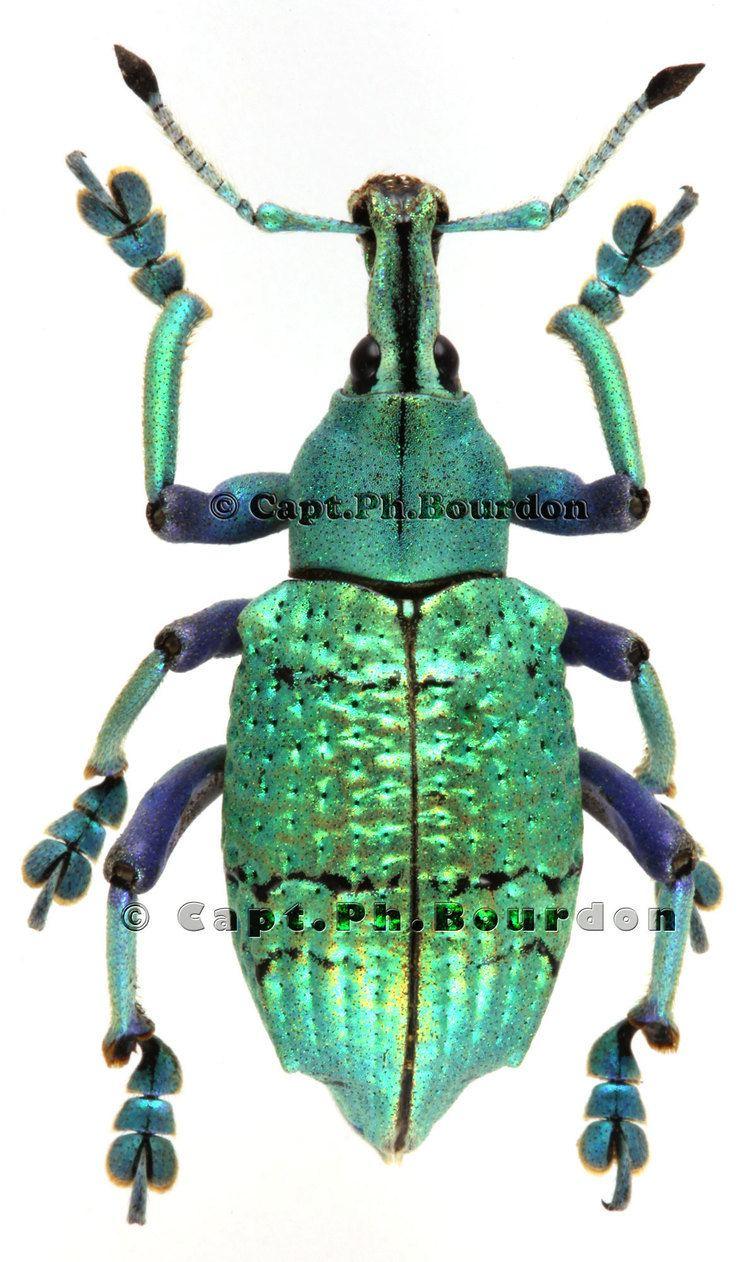 Eupholus Eupholus schoenherri petiti var02 ColeopteraAtlascom