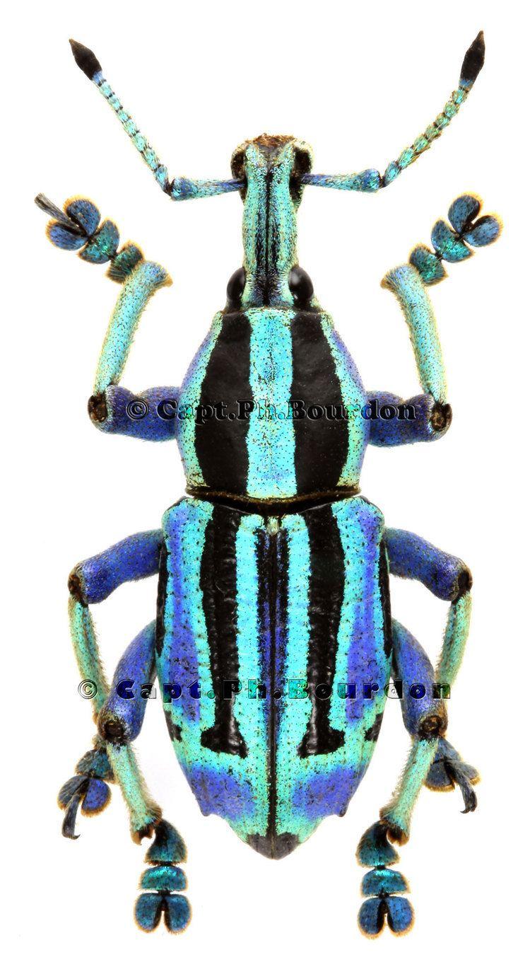 Eupholus Eupholus bennetti ColeopteraAtlascom