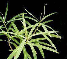 Euphorbia antso httpsuploadwikimediaorgwikipediacommonsthu