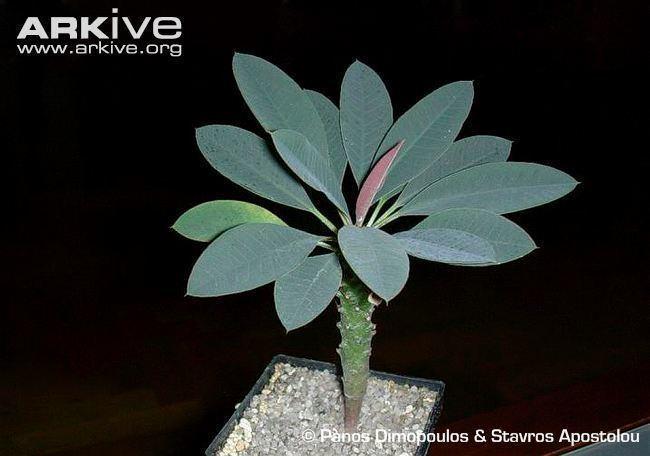 Euphorbia pachypodioides Euphorbia photo Euphorbia pachypodioides G71031 ARKive