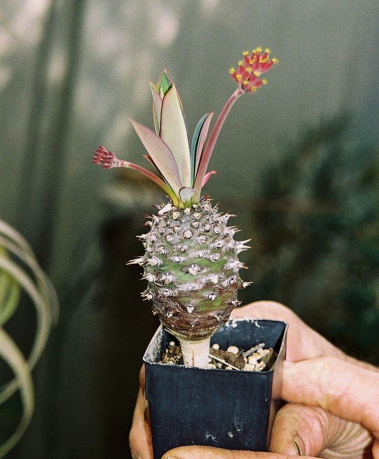 Euphorbia pachypodioides Euphorbia pachypodioides Euphorbia pachypodioides Flickr